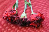 Withered red carnation