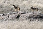 Pair of Coyotes on an Outcropping