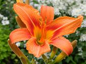 stock photo of day-lilies  - Orange day - JPG