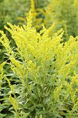 stock photo of goldenrod  - Canada goldenrod  - JPG