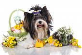 beaver yorkshire terrier and  easter eggs