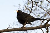 Blackbird (Turdus merula) sitting on a branch