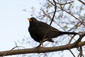Blackbird (Turdus merula) sitting on a branch