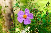 stock photo of dog-rose  - Flowers of wild  dog-rose (rosehip) growing in nature