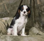 cavalier king charles spaniel puppy - tri-color 3 months old