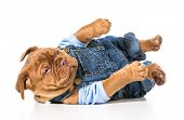 stock photo of overalls  - male puppy  - JPG