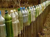 garden fence with plastic bottles which used to protect tomato seedlings from cold spring  weather a