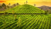 Small Woman In Tea Plantation
