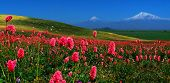 image of armenia  - Mountain Ararat with blooming purple flowers in the foreground - JPG