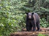 picture of bear  - American black bear stands on logs - JPG