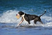 Black pitbull dog playing, running on sea wave on the beach