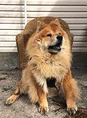 Pet Chow Chow Dog
