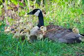 Canada Goose Sitting On A Nest With Her Goslings
