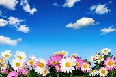 picture of daisy flower  - Lush flower bed with white and pink daisies in front of the deep blue sky and fluffy little clouds - JPG