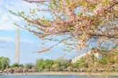 pic of washington monument  - Washington Monument during Cherry Blossom Festival in spring - JPG