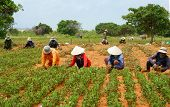 Group Asia Farmer Working Harvest Peanut