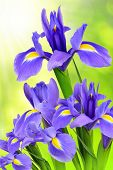 pic of purple iris  - purple iris flower on green natural background - JPG