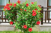 Hibiscus Bush In Front Of House
