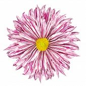 Chrysanthemum Flower White And Purple Petals Isolated