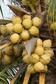 Bunch of yellow coconut fruits hanging on tree