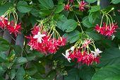 Combretum indicum, Chinese honeysuckle or Rangoon creeper