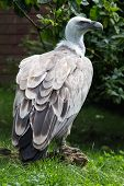 Griffon Vulture Profile