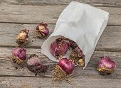 Box With Hyacinth Bulbs Before Planting In The Ground