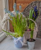 Muscari And Hyacinths In Pots On The Balcony Window