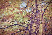 Yellow Birch Foliage-instagram