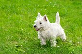 picture of west highland white terrier  - West highland white terrier on green grass background - JPG