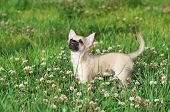 Chihuahua puppy on green lawn