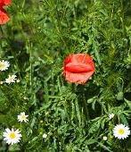 Green Meadow With Blooming Poppies And Chamomiles
