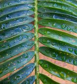 Palm Leaves After The Rain