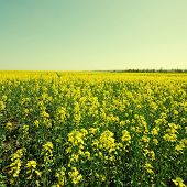 Vintage Landscape With Rapeseed Field