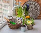stock photo of primrose  - Spring primroses hyacinths and primroses near the basket and a shovel on the window - JPG