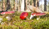 Russules In The Forest
