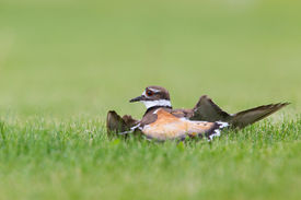 stock photo of killdeer  - Killdeer doing its broken wing act to fool predators  away from its nest and young - JPG