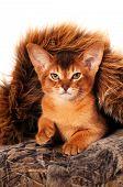 Lovely Abyssinian Kitten Portrait
