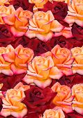 Background from the scattered randomly, yellow and red roses