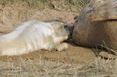 Atlantic Grey Seal Pup Feeding