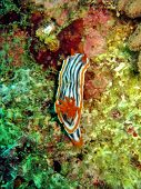 Nudibranch Gills