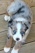 picture of shepherds  - This puppy is a beautiful half Border Collie and half Australian Shepherd in a merle color and with blue eyes - JPG