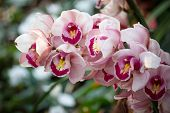 Cymbidium Orchid Flower