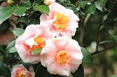 stock photo of raindrops  - Camellia flowers and raindrop - JPG