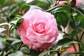 image of raindrops  - Camellia flower and raindrop - JPG