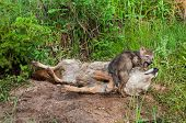 Coyote (canis Latrans) Pup Plays With Adult