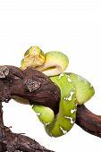 picture of green tree python  - Emerald tree boa - JPG
