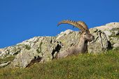 Alpine Ibex Lying On A Meadow