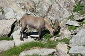Young Alpine Ibex Eating A Thistle