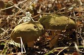 Edible Mushrooms. Delicacy. The Addition To The Dishes. Autumn Mushroom Picking